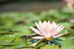 διακοσμήστε τον ελεύθερο χρόνο κήπων φαίνεται λίμνη λωτού Στοκ Εικόνα
