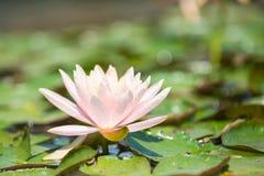 διακοσμήστε τον ελεύθερο χρόνο κήπων φαίνεται λίμνη λωτού Στοκ εικόνες με δικαίωμα ελεύθερης χρήσης