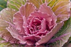 Διακοσμητικό ρόδινο λάχανο Στοκ Φωτογραφίες