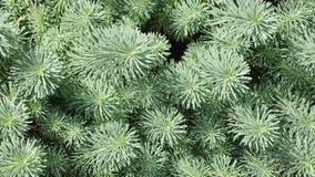 διακοσμητικό φυτό Στοκ Φωτογραφίες