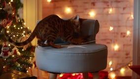 Διακόσμηση Χριστουγέννων γατών Bangal φιλμ μικρού μήκους