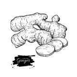 Διανυσματική συρμένη χέρι απεικόνιση ρίζας πιπεροριζών Ρίζα και τεμαχισμένη πίτα Στοκ φωτογραφία με δικαίωμα ελεύθερης χρήσης