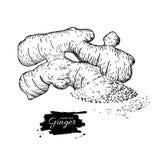 Διανυσματική συρμένη χέρι απεικόνιση ρίζας πιπεροριζών Hea ρίζας και σκονών Στοκ εικόνες με δικαίωμα ελεύθερης χρήσης