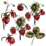 Διανυσματικό σύνολο συρμένων χέρι εγκαταστάσεων φραουλών για το σχέδιο Στοκ φωτογραφία με δικαίωμα ελεύθερης χρήσης