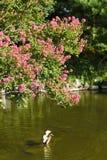 Ιαπωνία, Κιότο, πάρκο Maruyama και οι ναοί του στοκ φωτογραφίες με δικαίωμα ελεύθερης χρήσης