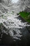 Ιαπωνία χιονώδες άσπρο Sakura Στοκ Εικόνες
