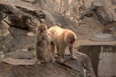 Ιαπωνία macaques, Τόκιο, Ιαπωνία Στοκ εικόνα με δικαίωμα ελεύθερης χρήσης