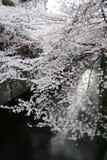 Ιαπωνικά άνθη & φανάρια κερασιών Sakura στοκ φωτογραφία με δικαίωμα ελεύθερης χρήσης