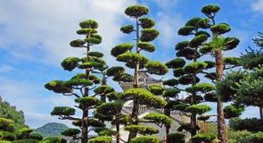 Ιαπωνικά δέντρα πεύκων Στοκ εικόνα με δικαίωμα ελεύθερης χρήσης