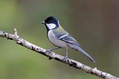Ιαπωνικά δευτερεύοντα πουλιά Tit Parus της Ταϊλάνδης Στοκ Εικόνα