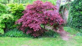 Ιαπωνικά κόκκινα δέντρα σφενδάμνου Στοκ φωτογραφία με δικαίωμα ελεύθερης χρήσης