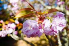 Ιαπωνικά λουλούδια και φύλλα κερασιών chery ανθίζοντας Στοκ εικόνα με δικαίωμα ελεύθερης χρήσης