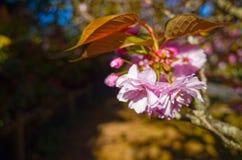 Ιαπωνικά λουλούδια και φύλλα κερασιών chery ανθίζοντας Στοκ Εικόνες