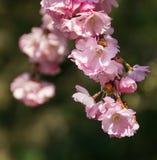 Ιαπωνικά λουλούδια κερασιών Στοκ Φωτογραφίες