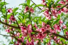 Ιαπωνικά λουλούδια του μήλου στους κλάδους την άνοιξη στοκ φωτογραφία