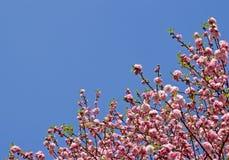 Ιαπωνικά λουλούδια δέντρων κερασιών στοκ φωτογραφία με δικαίωμα ελεύθερης χρήσης