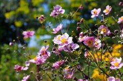 Ιαπωνικά λουλούδια anemone το καλοκαίρι Στοκ Εικόνα