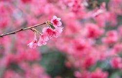 Ιαπωνικά λουλούδια sakura κερασιών ρόδινα Στοκ εικόνες με δικαίωμα ελεύθερης χρήσης