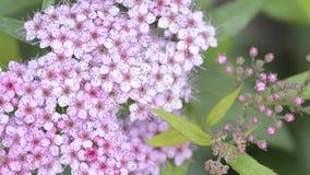 Ιαπωνικά λουλούδια spirea απόθεμα βίντεο