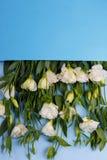 Ιαπωνικά τριαντάφυλλα στην μπλε άνω πλευρά φακέλων - κάτω σε ένα μπλε ξύλινο υπόβαθρο Στοκ Εικόνα
