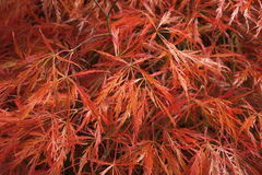 Ιαπωνικά φύλλα σφενδάμου φθινοπώρου Στοκ Φωτογραφία