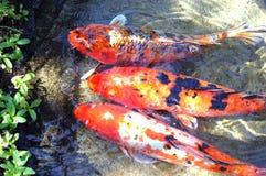 Ιαπωνικά ψάρια Koi Στοκ εικόνα με δικαίωμα ελεύθερης χρήσης