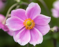 Ιαπωνικά anemone & x28 Anemone hupehensis& x29  λουλούδι Στοκ Εικόνες