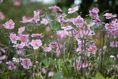 Ιαπωνικά anemone & x28 Anemone hupehensis& x29  εγκαταστάσεις στο λουλούδι Στοκ φωτογραφίες με δικαίωμα ελεύθερης χρήσης