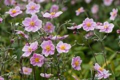 Ιαπωνικά anemone & x28 Anemone hupehensis& x29  στο λουλούδι Στοκ Εικόνα