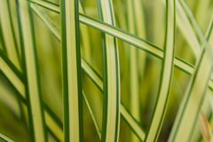 Ιαπωνικές εγκαταστάσεις χλόης Evergold Carex Στοκ εικόνα με δικαίωμα ελεύθερης χρήσης