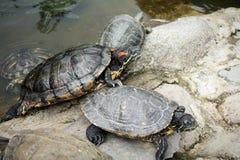 Ιαπωνικές χελώνες Στοκ φωτογραφίες με δικαίωμα ελεύθερης χρήσης