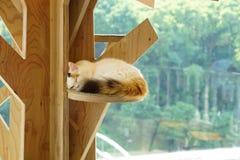 Ιαπωνική γάτα NAP Στοκ Εικόνα