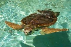 ιαπωνική χελώνα Στοκ εικόνες με δικαίωμα ελεύθερης χρήσης