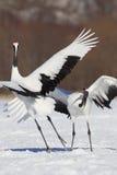 Ιαπωνικοί γερανοί Στοκ εικόνες με δικαίωμα ελεύθερης χρήσης