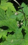 Ιαπωνικοί οφθαλμοί anemone Στοκ εικόνα με δικαίωμα ελεύθερης χρήσης