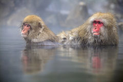Ιαπωνικοί πίθηκοι χιονιού Στοκ Εικόνα
