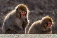 2 ιαπωνικοί πίθηκοι Στοκ Εικόνες