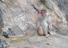 Ιαπωνικοί πίθηκοι macaque στην Ιαπωνία Στοκ εικόνες με δικαίωμα ελεύθερης χρήσης