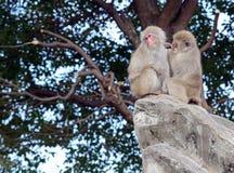 Ιαπωνικοί πίθηκοι macaque στην Ιαπωνία Στοκ φωτογραφία με δικαίωμα ελεύθερης χρήσης