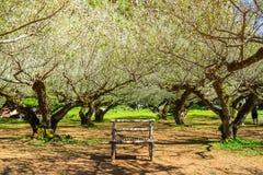 Ιαπωνικός κήπος βερίκοκων με τον πάγκο στο βασιλικό γεωργικό σταθμό AngKhang, Chiang Mai, Ταϊλάνδη Στοκ φωτογραφίες με δικαίωμα ελεύθερης χρήσης