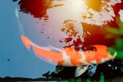 Ιαπωνικός κυπρίνος koi Στοκ Εικόνα