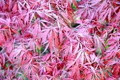 Ιαπωνικός κόκκινος σφένδαμνος laceleaf Στοκ Εικόνες