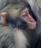 Ιαπωνικός πίθηκος χιονιού macaque μωρών Στοκ Φωτογραφίες
