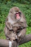 ιαπωνικός πίθηκος Στοκ Φωτογραφίες