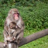 ιαπωνικός πίθηκος Στοκ εικόνες με δικαίωμα ελεύθερης χρήσης