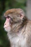 ιαπωνικός πίθηκος Στοκ εικόνα με δικαίωμα ελεύθερης χρήσης