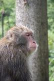 ιαπωνικός πίθηκος Στοκ φωτογραφία με δικαίωμα ελεύθερης χρήσης