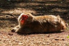 Ιαπωνικός πίθηκος Makak Στοκ φωτογραφία με δικαίωμα ελεύθερης χρήσης