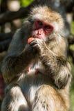 Ιαπωνικός πίθηκος Makak Στοκ εικόνα με δικαίωμα ελεύθερης χρήσης