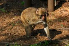 Ιαπωνικός πίθηκος Makak Στοκ εικόνες με δικαίωμα ελεύθερης χρήσης
